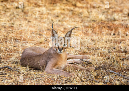 Close up portrait of a wild Caracal, Caracal caracal, lying down and looking at camera, Buffalo Springs National - Stock Image