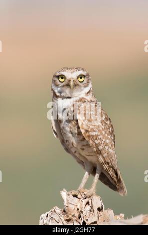 USA, Arizona, Buckeye. Burrowing owl close-up. Credit as: Wendy Kaveney / Jaynes Gallery / DanitaDelimont.com - Stock Image
