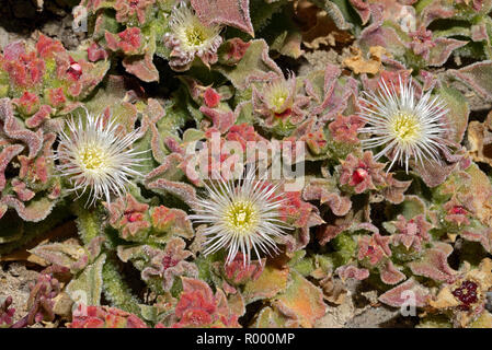 Mesembryanthemum crystallinum (crystalline ice plant) is a prostrate succulent that can tolerate nutritionally poor and saline soils. - Stock Image