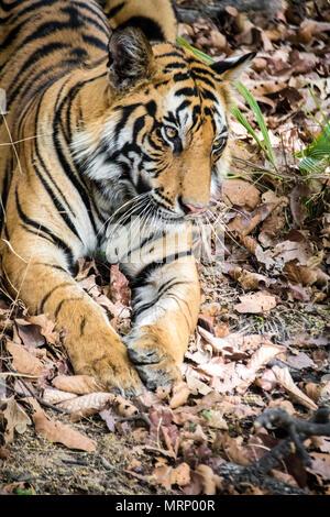 Vertical portrait of a two year old male Bengal Tiger, Panthera tigris tigris, Bandhavgarh Tiger Reserve, Madhya Pradesh, India - Stock Image