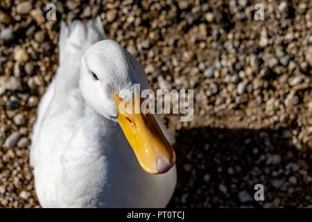 High angle portrait of an American Pekin Duck (Anas platyrhynchos domesticus) - Stock Image