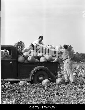 Harvesting pumpkins, ca 1940 - Stock Image