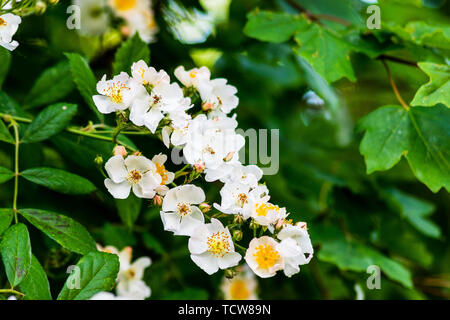 Simple white wild roses flowering in spring against their green leaves - Stock Image