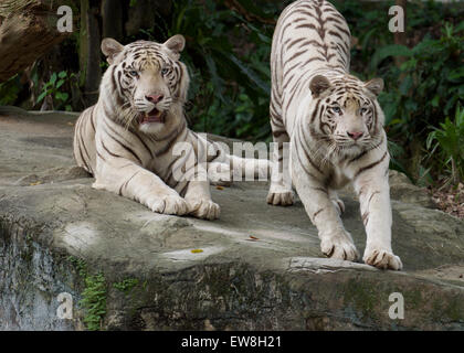 White Tigers Singapore Zoo - Stock Image