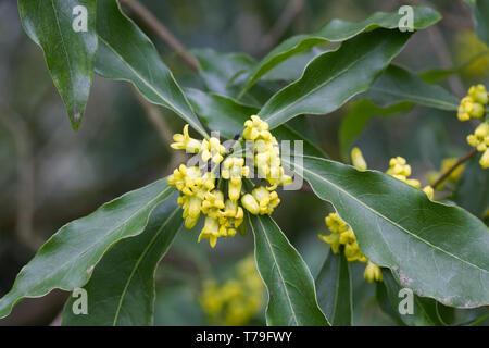 Tristaniopsis laurina flowers. - Stock Image