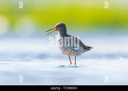 Common redshank tringa totanus wading bird foraging in water on a sunny day  These Eurasian wader bird are common breeders in the agraric grassland of - Stock Image