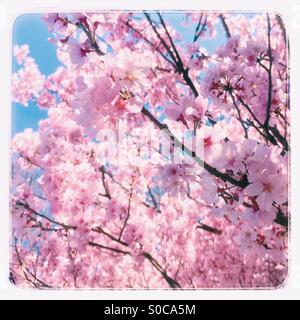 Pretty, pink sakura or cherry blossoms with blue sky in the background, with vintage frame. - Stock Image