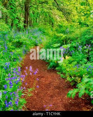 Pathway in Mount Pisgah Arboretum with blue flowers. (Delphinium trolliifolium) Oregon. - Stock Image