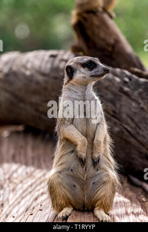A meerkat stands guard on sentry duty protecting their clan. - Stock Image