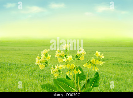 Primroses on spring meadow - Stock Image