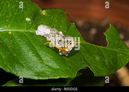Giant Swallowtail Caterpillar (Papilio cresphontes), aka the 'bird poop' caterpillar, feeds on citrus leaves and displays its 'osmeterium.' (Arizona) - Stock Image