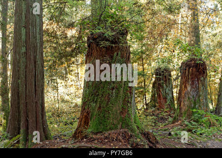 Logged primary growth tree trunks in the forest, Pacific Spirit Regional Park and nature preserve, Vancouver, BC, Canada - Stock Image