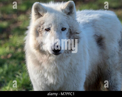 Arctic wolf (Canis lupus arctos), a subspecies of grey wolf (gray wolf), aka polar or white wolf, lives in Arctic - Stock Image