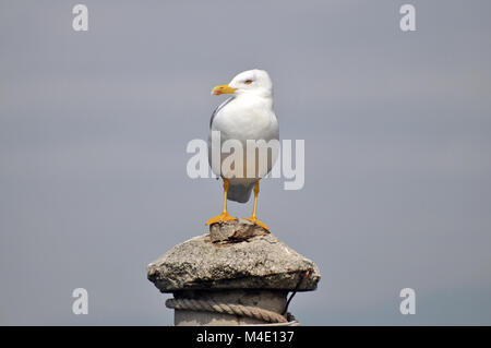 Gull - Stock Image