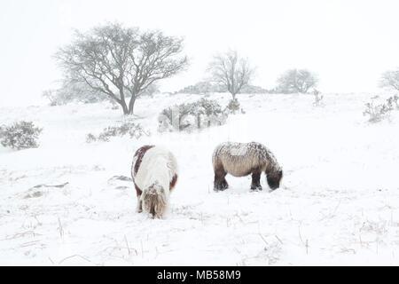 Dartmoor ponies in the snow Dartmoor national park Devon uk - Stock Image