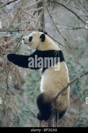Giant panda climbs tree in winter, Wolong, China, January - Stock Image