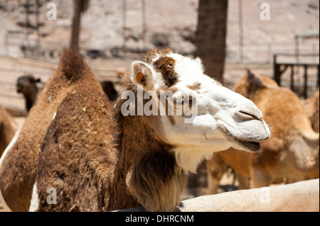 White faced camel - Stock Image