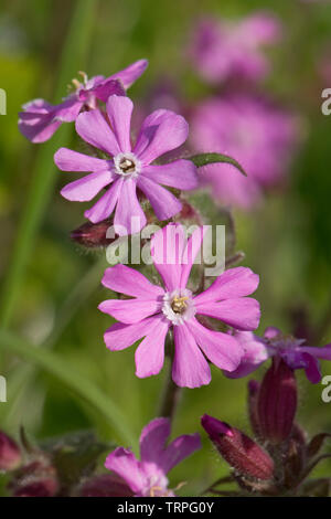Red campion, Silene dioica, male plant flowers of wild hedgerow dioecious plant in spring, Berkshire, England, UK - Stock Image