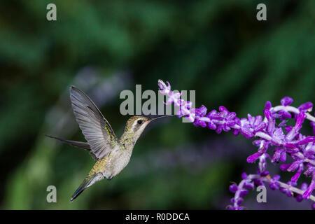 A female Broad-billed Hummingbird (Cynanthus latirostris) female, feeding on Mexican Sage (Salvia leucantha) in flight. Tucson - Stock Image