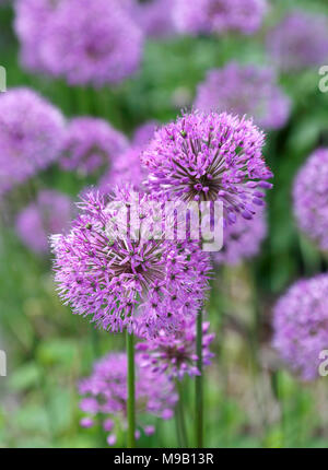 Allium - June - Stock Image