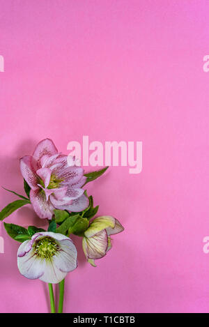 Hellebore flowers on a pink background with copy space. - Stock Image