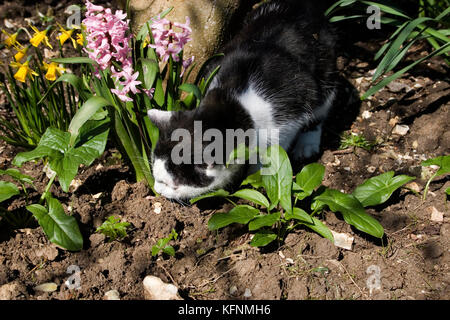 black and white tom cat eating plants in garden - Stock Image
