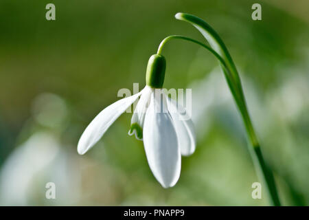 Snowdrop (galanthus nivalis), close up of a single flower with low depth of field. - Stock Image
