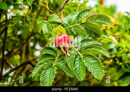 A rose hip, fruit of a rose, with leaves. - Stock Image