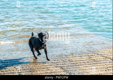 Schull, West Cork, Ireland. 18th Oct, 2018. Oscar runs up Schull Harbour slipway after a swim in unseasonably warm conditions. The day will be dry and bright with sunny spells and temperatures of 11 to 14°C. Credit: Andy Gibson/Alamy Live News. - Stock Image