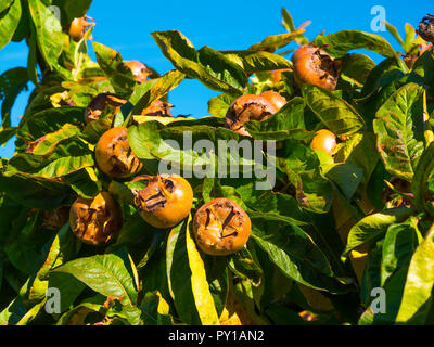 Mespilus germanica, known as the medlar or common medlar, is a small tree, and the name of the fruit growing in Helmsley Walled Garden North Yorkshire - Stock Image
