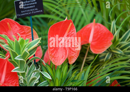 London,UK,20th May 2019,Anthurium Flamingo Flower at the RHS Chelsea Flower Show Press Day which takes place before it officially opens tomorrow until Saturday 25th May. The world renowned flower show is a glamourous, fun and an educational day out which is attended by many celebrities. There are many gardens, floral displays, Marquees all set in the glorious grounds of The Royal Hospital Chelsea.Credit: Keith Larby/Alamy Live News - Stock Image