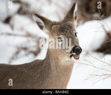 Young white-tailed Deer (Odocoileus virginianus) browsing on dry branch in winter - Stock Image