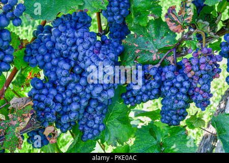 blue grapes in vineyard - Stock Image