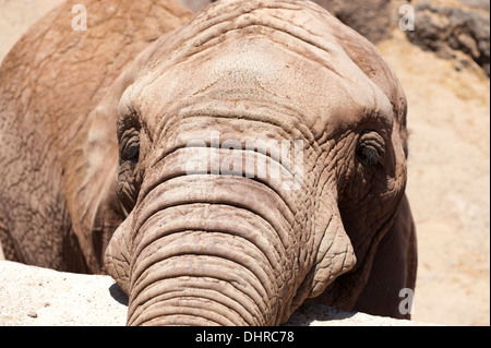 Elephant eyes close up looking at camera - Stock Image