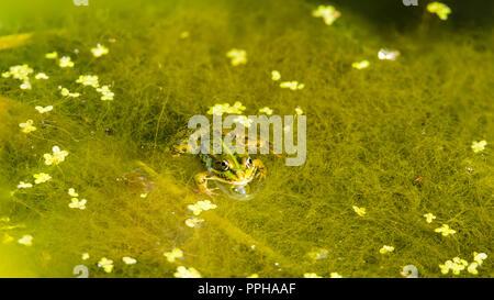 Tree frog - Stock Image