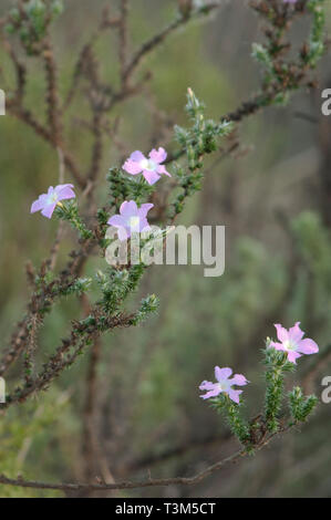 Woodland wildflowers near Lompoc, central California coast. Digital photograph - Stock Image