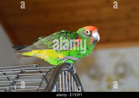 The Red-fronted Parrot (Poicephalus gulielmi) Jardine's Parrot, female. - Stock Image