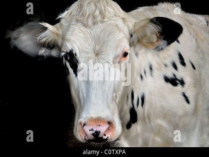 Friesian cow - Stock Image
