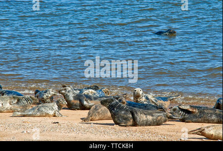 PORTGORDON BEACH MORAY SCOTLAND COMMON SEALS LYING ON THE SAND  AND ONE IN THE SEA - Stock Image