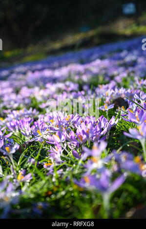 Brighton, UK. 26th Jan, 2019. Passers by stop to admire the carpet of crocuses in Preston Park rockery gardens n Brighton as the unusually warm sunny weather continues throughout Britain with some areas forecast to reach over 20 degrees centigrade again Credit: Simon Dack/Alamy Live News - Stock Image