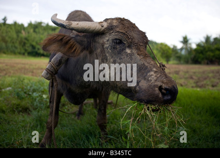 A carabao dines on grass after working a rice field near Mansalay, Oriental Mindoro, Philippines. - Stock Image