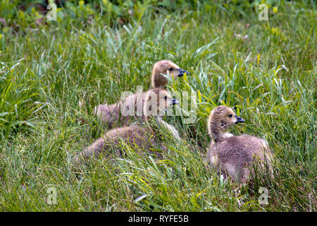 Three wild baby ducks with grayish tan and white down and black beaks huddle in the spring grass - Stock Image