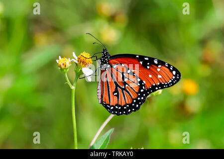 Queen butterfly - Stock Image