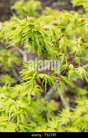 Acer palmatum 'Mikawa yatsubusa'  at the Oregon Garden in Silverton, Oregon, USA. - Stock Image