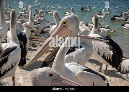 Wild Pelican Feeding - sea birds being fed fish scraps at Ian Dipple Lagoon, Marine Parade, Labrador, Gold Coast, Australia - Stock Image