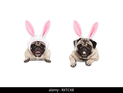 two cute pug puppy dogs, dressed up as easter bunnies, hanging with paws on white banner, isolated - Stock Image