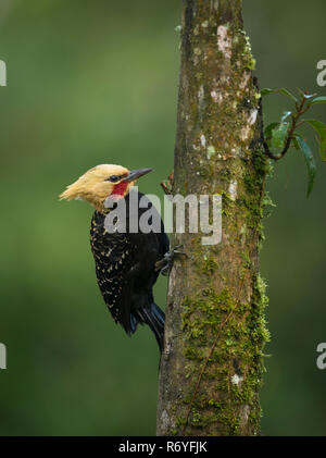 The gorgeous Blond-crested Woodpecker from the Atlantic Rainforest. - Stock Image