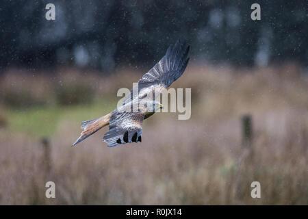 Red Kite (Milvus milvus) in flight in rain - Stock Image