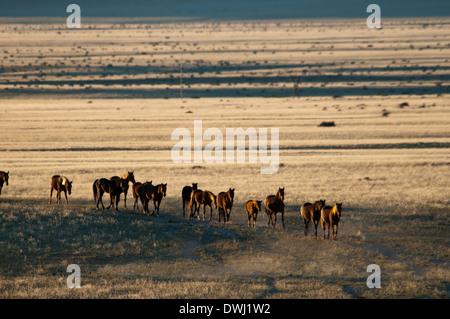 A Herd of Wild Namibian Horses, Equus ferus caballus, walking in a line at the Garub Waterhole at Aus, Namibia, Africa - Stock Image
