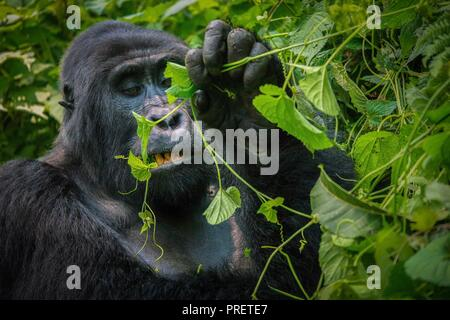 A close-up of a mature silverback  mountain gorilla chewing a vine with his teeth and mouth visible, surrounded by the dense green foliage of Bwindi I - Stock Image